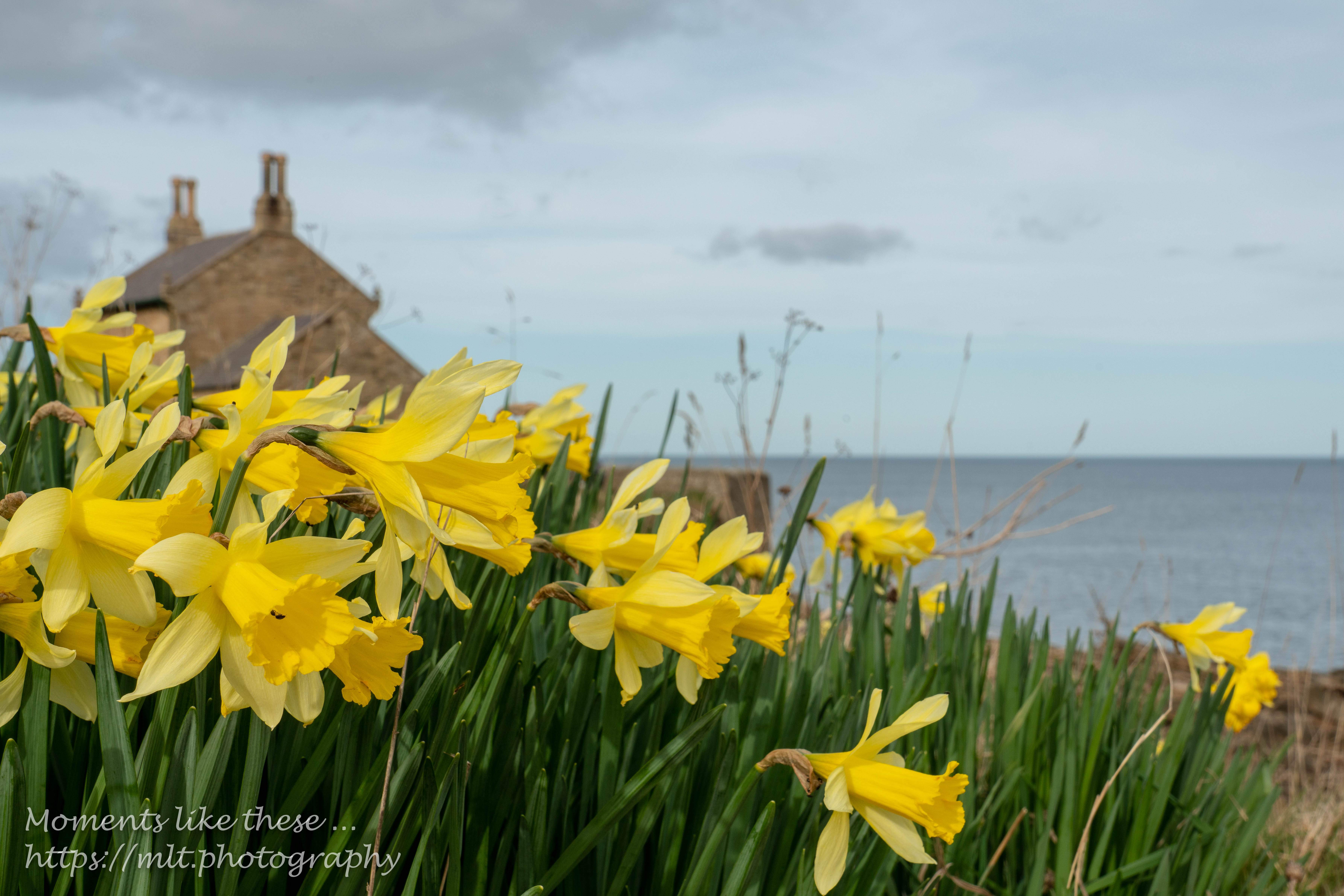 Daffodils at The Beach House