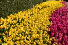 Narcissi and hyacinth border