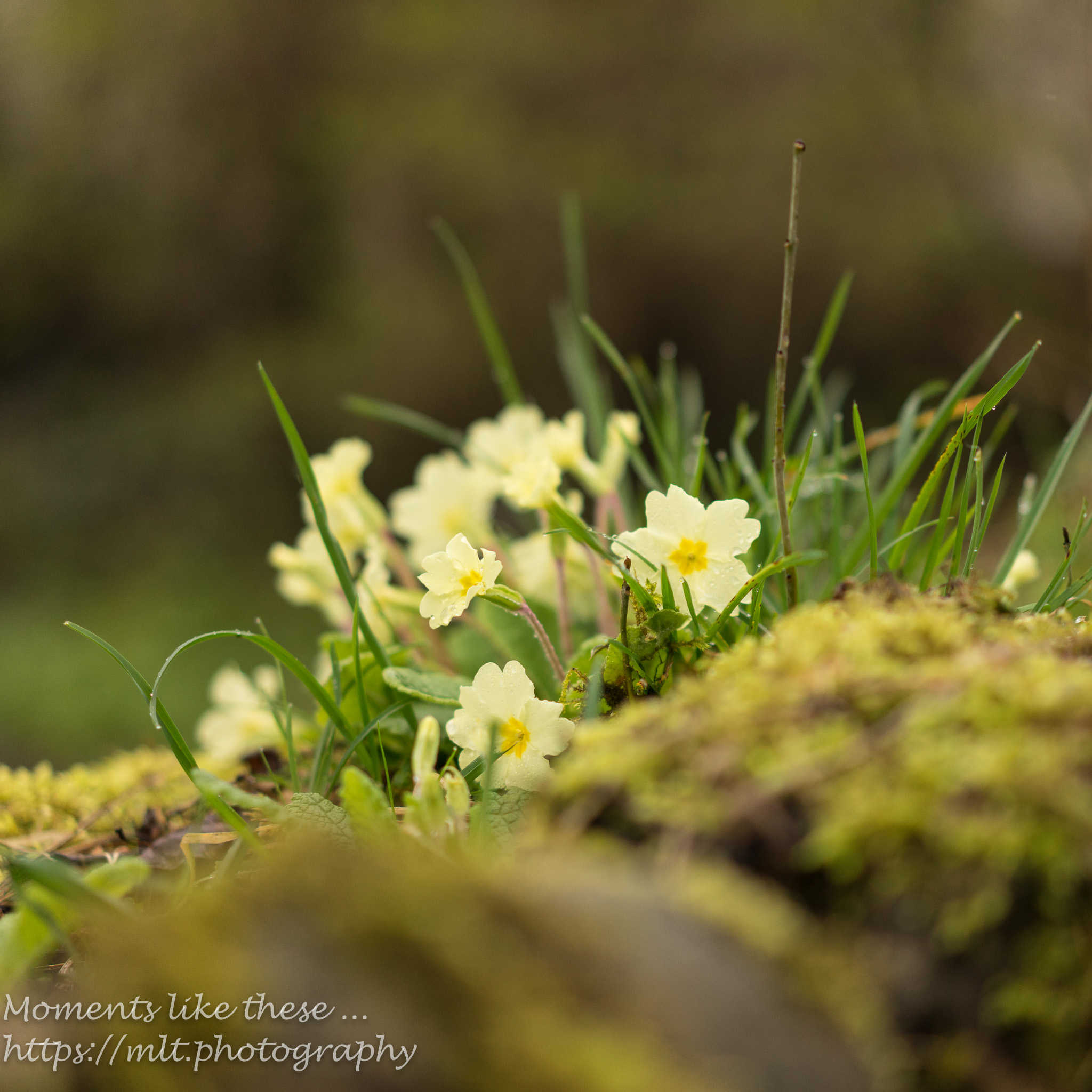 Primroses in perspective