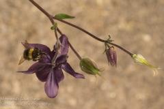 Honeysuckle and Bee