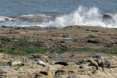 Grey seals at St Mary's Lighthouse