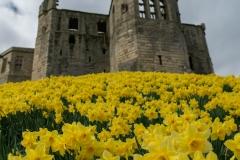 Daffodils below the keep - Warkworth Castle