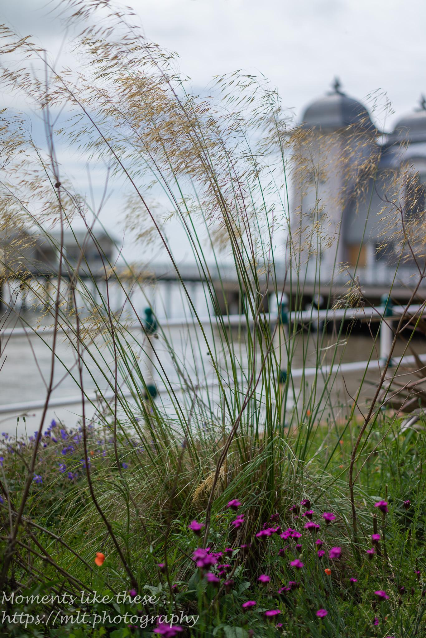Penarth pier through wavy grass