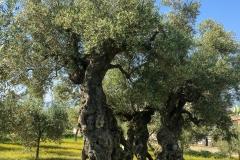 Olive tree of San Emiliano, near Trevi