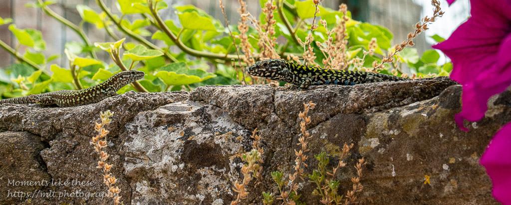 Lizards on Isola Maggiore